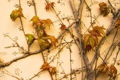 Färgrik murgrönaväggbakgrund Royaltyfri Foto