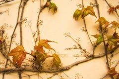Färgrik murgrönaväggbakgrund Royaltyfria Bilder