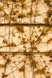 Färgrik murgrönaväggbakgrund Arkivfoton