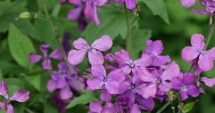 Färgrik naturbakgrund av purpurfärgade blommor Naturlig bakgrund för blom- modell lager videofilmer