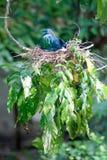 Färgrik Nicobar duva som kläcker ägg i ett rede på ett träd Fotografering för Bildbyråer
