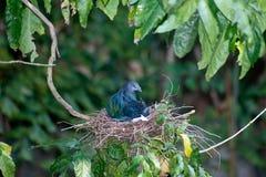 Färgrik Nicobar duva som kläcker ägg i ett rede på ett träd Arkivfoton