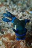 Färgrik nudibranch Royaltyfria Foton