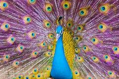 Färgrik påfågel Fotografering för Bildbyråer