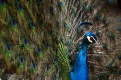 färgrik påfågel Arkivfoton