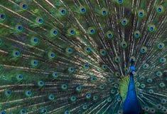 färgrik påfågel Arkivfoto