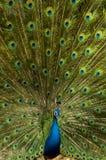 färgrik påfågel Royaltyfri Fotografi
