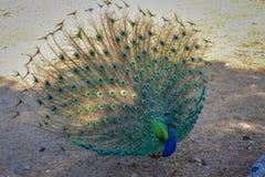 Färgrik påfågel på Grekland, rhodes Royaltyfria Bilder