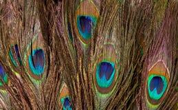 Färgrik påfågelfjäder Arkivfoton