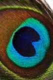 Färgrik påfågelfjäder, slut upp Arkivfoto