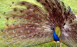 Färgrik påfågelskärm Arkivfoto