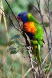 Färgrik papegoja Arkivfoton