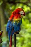 Färgrik papegoja Royaltyfria Foton