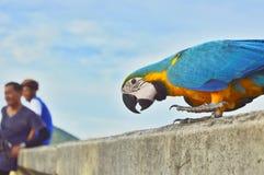 Färgrik papegoja i Thail Arkivbild