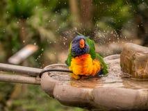 Färgrik papegoja som tar ett bad Arkivbild