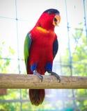 Färgrik papegoja som vilar främre sikt för ona-pinne arkivfoto