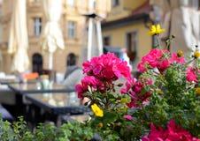 Färgrik pelargon på sommarterrassen av en restaurang, Prague, Tjeckien arkivbilder