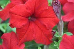 Färgrik petuniablomma Arkivbilder