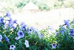 Färgrik petunianärbild, Arkivfoton