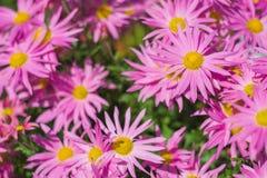 färgrik pink för chrysanthemum royaltyfria foton