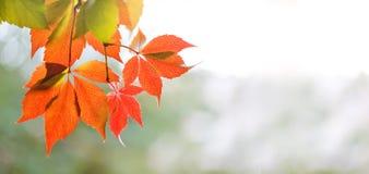 Färgrik plats för hösttid Filial för träd för druva för Virginia ranka lös med röda sidor, solig dag Mjuk fokus, grunt djup av fä arkivfoto