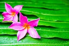 Färgrik Plumeria blommar på bladet Royaltyfri Foto