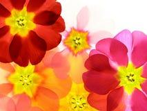 färgrik primula Royaltyfria Bilder