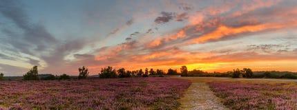 färgrik purpurfärgad ljung på soluppgång Arkivbild