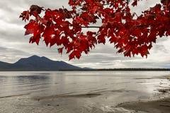 Färgrik röd lönn gör en gardin på lakewater som är nordvästlig Arkivfoton
