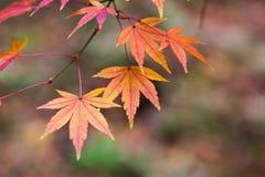 Färgrik röd lönnlöv i Japan under Autumn Season fotografering för bildbyråer