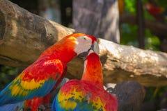 Färgrik röd papegojamacaw Royaltyfri Bild