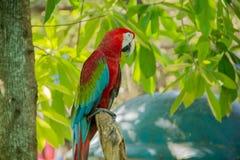 Färgrik röd papegojamacaw Arkivfoton