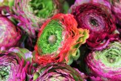 färgrik ranunculus Fotografering för Bildbyråer