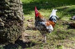färgrik rooster Royaltyfria Foton