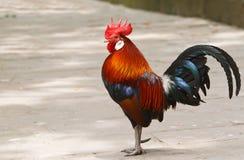 färgrik rooster Arkivbild