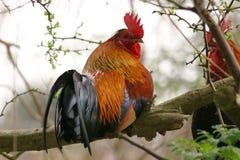 färgrik rooster för filial Royaltyfri Foto