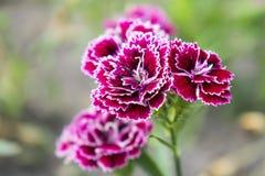 Färgrik rosa blommablom med suddig bakgrund Arkivbilder