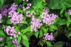Färgrik rosa egyptisk starcluste- eller stjärnablomma som blommar bästa sikt i trädgård royaltyfri foto