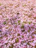 Färgrik rosa kronbladnedgång för körsbärsröd blomning på jordningen arkivfoto