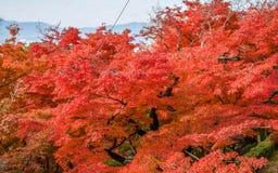 Färgrik säsong Kyoto i höst Royaltyfri Fotografi
