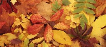 Färgrik säsongsbetonad höstbakgrundsmodell, vibrerande matta av stupade skogsidor Royaltyfria Bilder