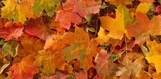 Färgrik säsongsbetonad höstbakgrundsmodell, vibrerande matta av stupade skogsidor Royaltyfri Fotografi