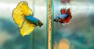 Färgrik simning för Halfmoonbetta i fiskbehållare arkivbild