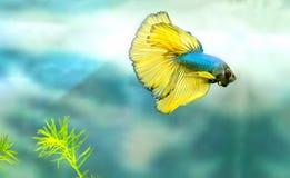 Färgrik simning för Halfmoonbetta i fiskbehållare arkivbilder