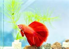 Färgrik simning för Halfmoonbetta i fiskbehållare royaltyfri bild