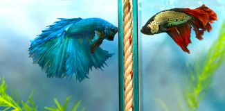 Färgrik simning för Halfmoonbetta i fiskbehållare arkivfoto