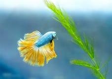 Färgrik simning för Halfmoonbetta i fiskbehållare fotografering för bildbyråer