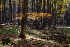 Färgrik skog för höst med underbart solsken Royaltyfri Bild