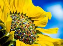 Färgrik solros Arkivfoton