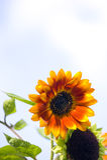 Färgrik solros Arkivbilder